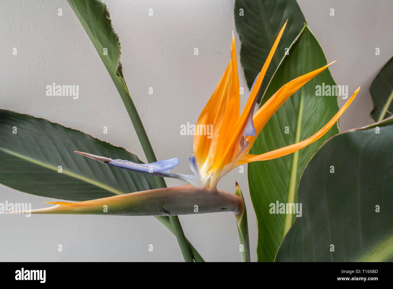 Strelitzia indoor plant in flower - bird of paradise flower. Stock Photo