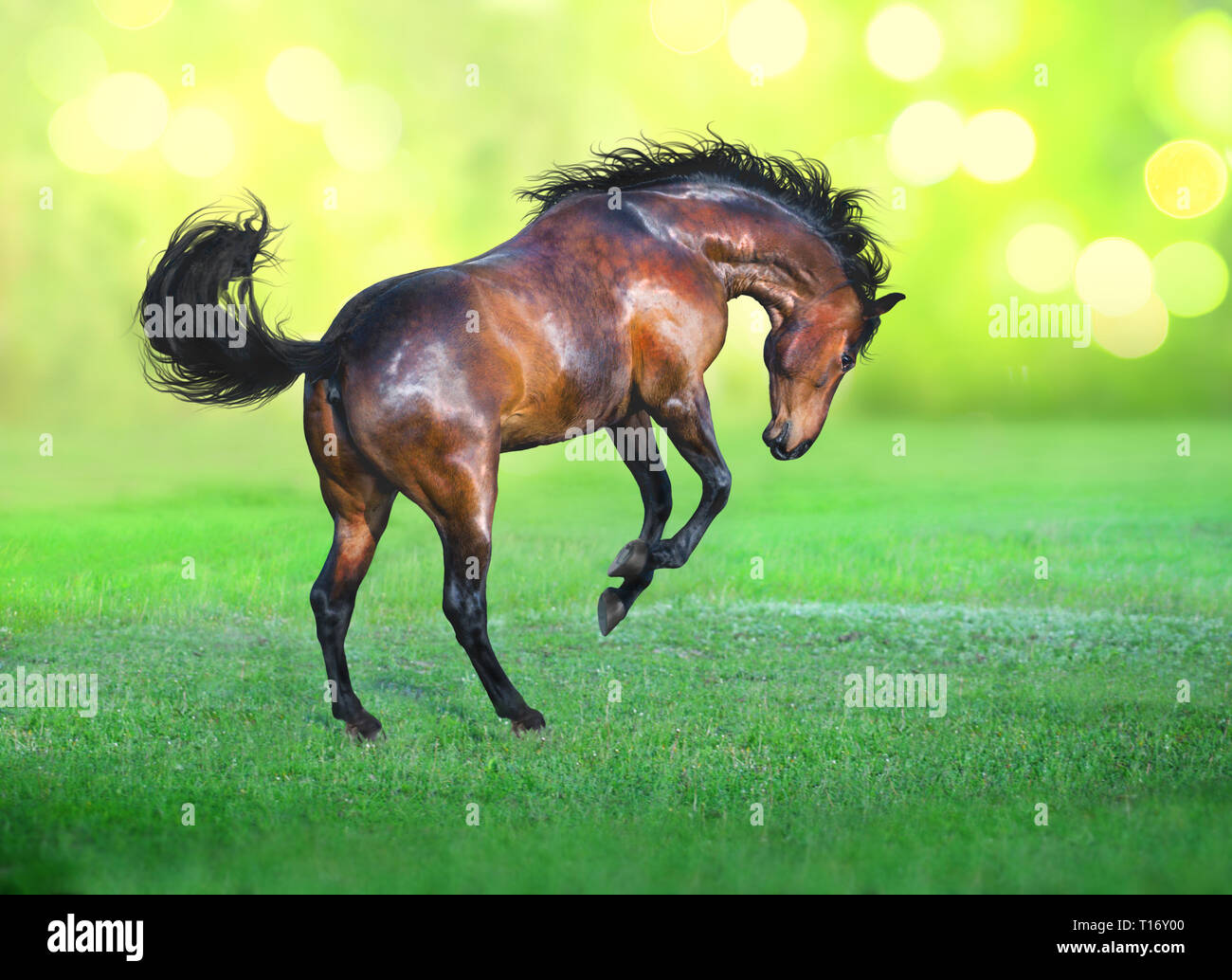 Bay horse runs on the green grass on green background - Stock Image