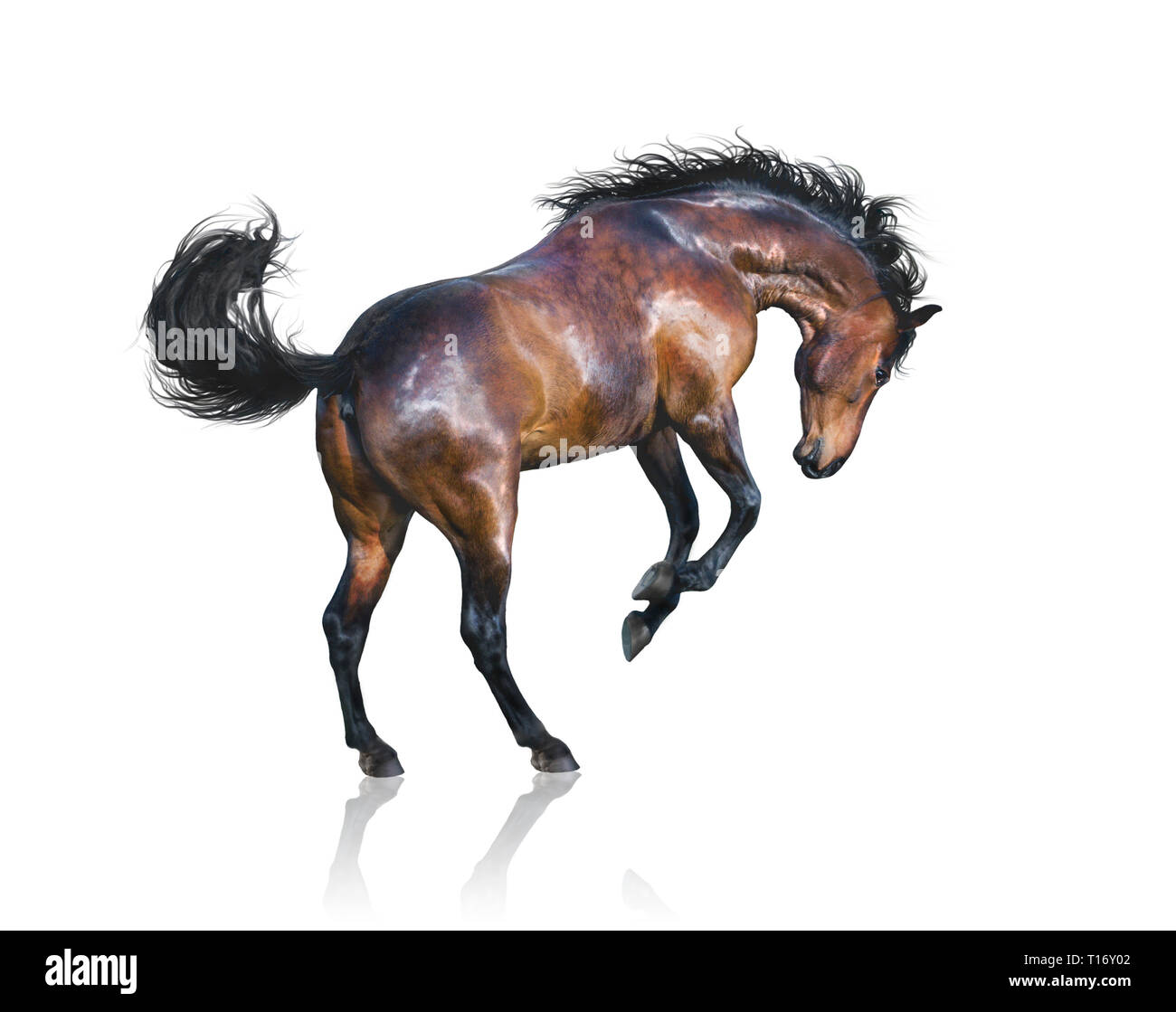 Brown horse jumps isolated on white background - Stock Image