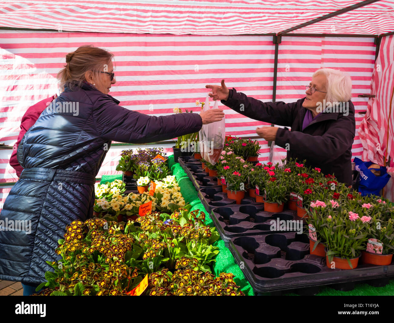 A lady gardener buying Siberian Tiger plants Muscari Armeniacum at a weekly market flower stall  in  North Yorkshire Stock Photo