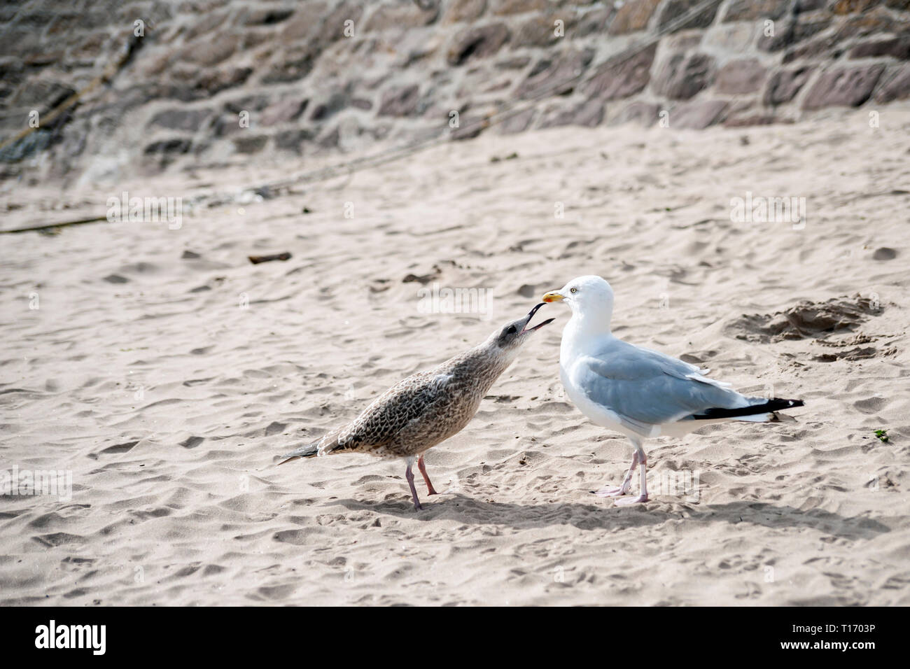 Juvenile herring gull, Laras argentatus demanding food on sandy beach, from it's mother - Stock Image
