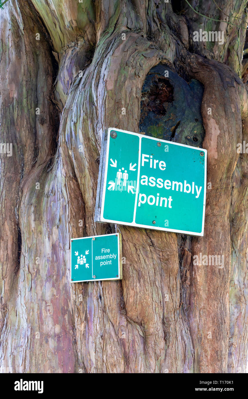 Green fire assembly point signs attached to a Yew tree - Stock Image