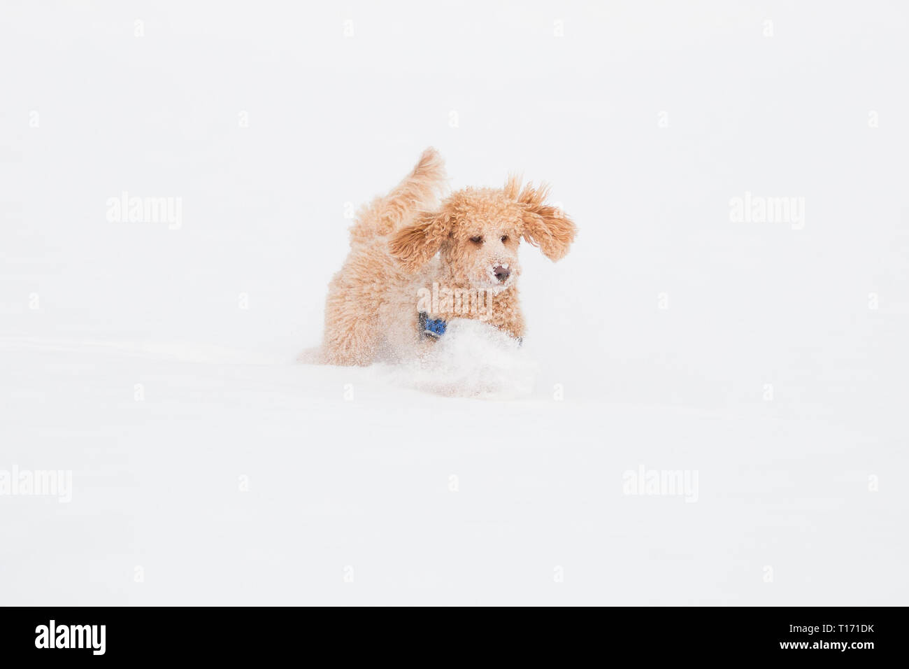 Young apricot poodle is jumping and enjoying in the snow. Playful dog running in snowy field in Weissensee on a beautiful winter day, Alps, Austria - Stock Image
