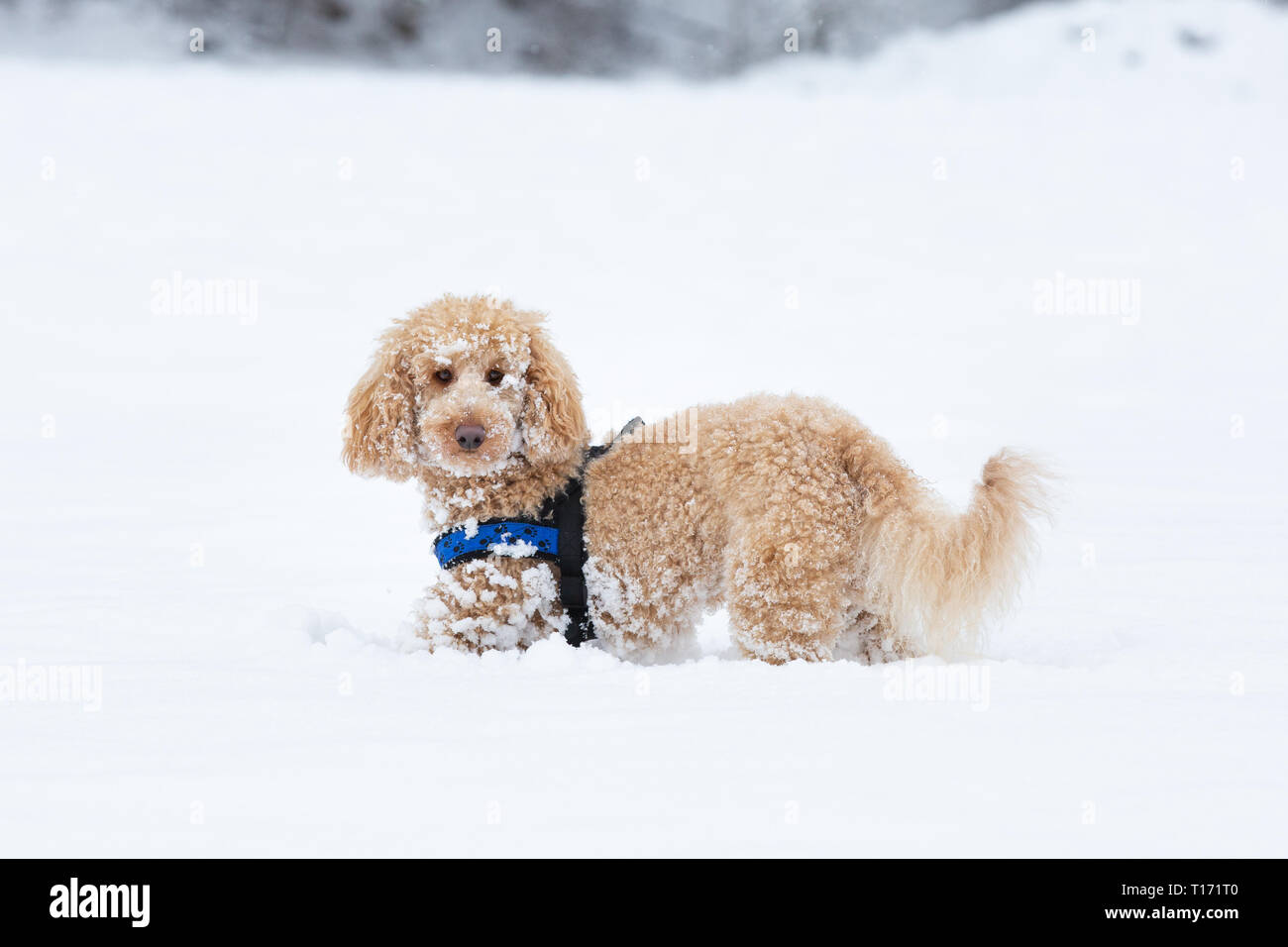 Young apricot poodle is enjoying in the snow. Cute apricot poodle standing in the snowy landscape and looking in the camera, Weissensee, Alps, Austria - Stock Image