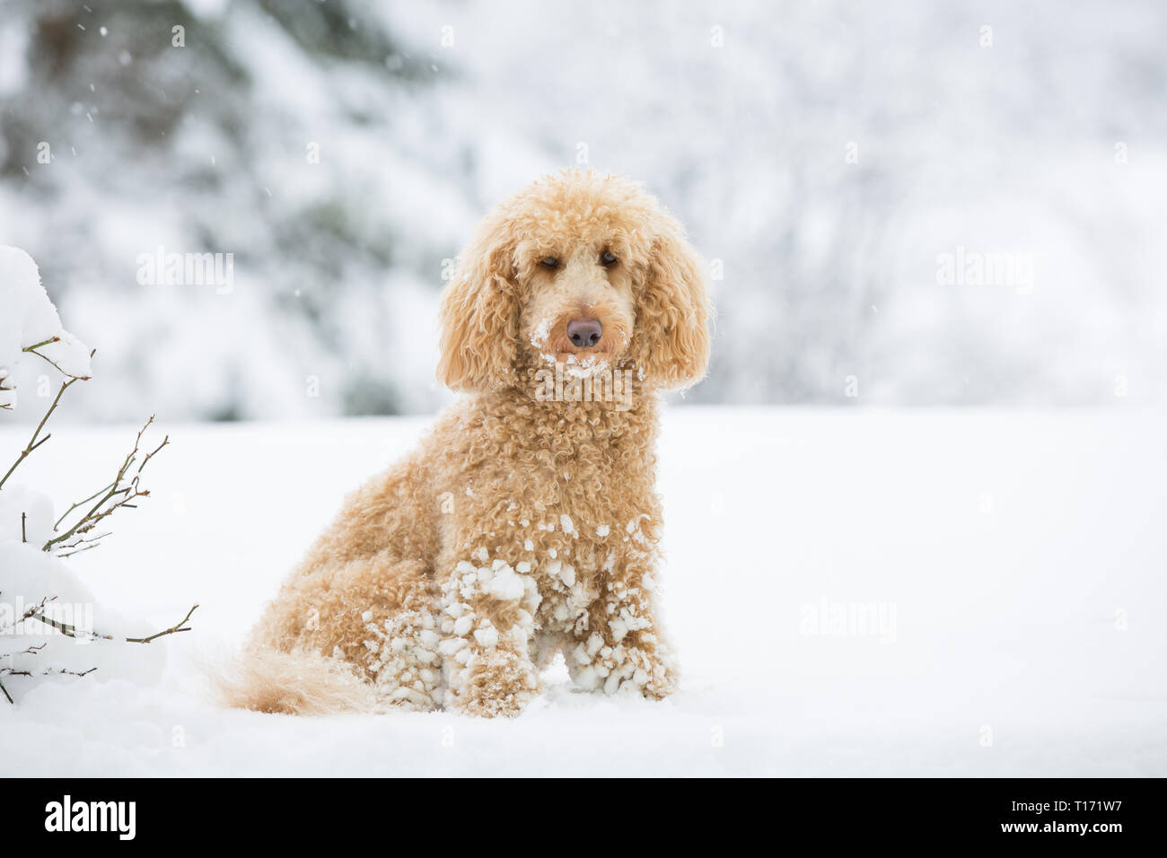 Young apricot poodle posing outside in the snow. Portrait of cute apricot poodle in the wonderful winter landscape, Weissensee, Austrian Alps, Austria - Stock Image
