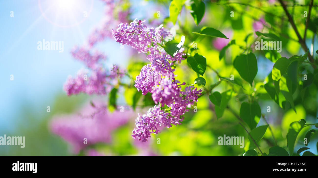 Lilac flowers blooming outdoors - Stock Image