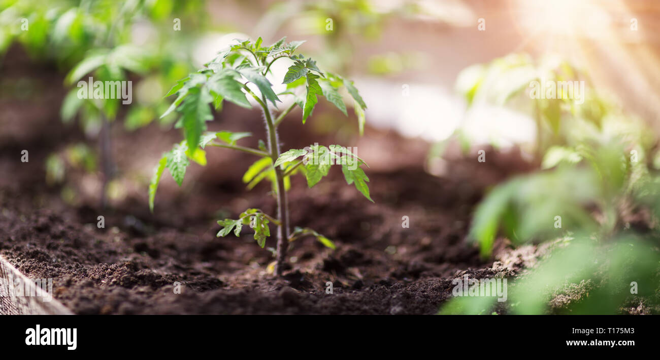 tomato seedling in greenhouse - Stock Image
