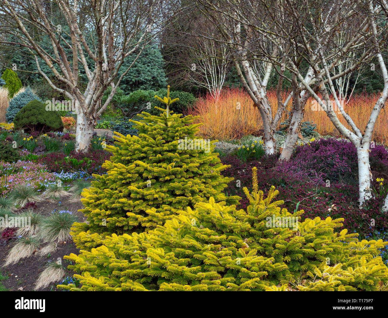 Late winter colour in early spring at Bressingham gardens Norfolk - Stock Image