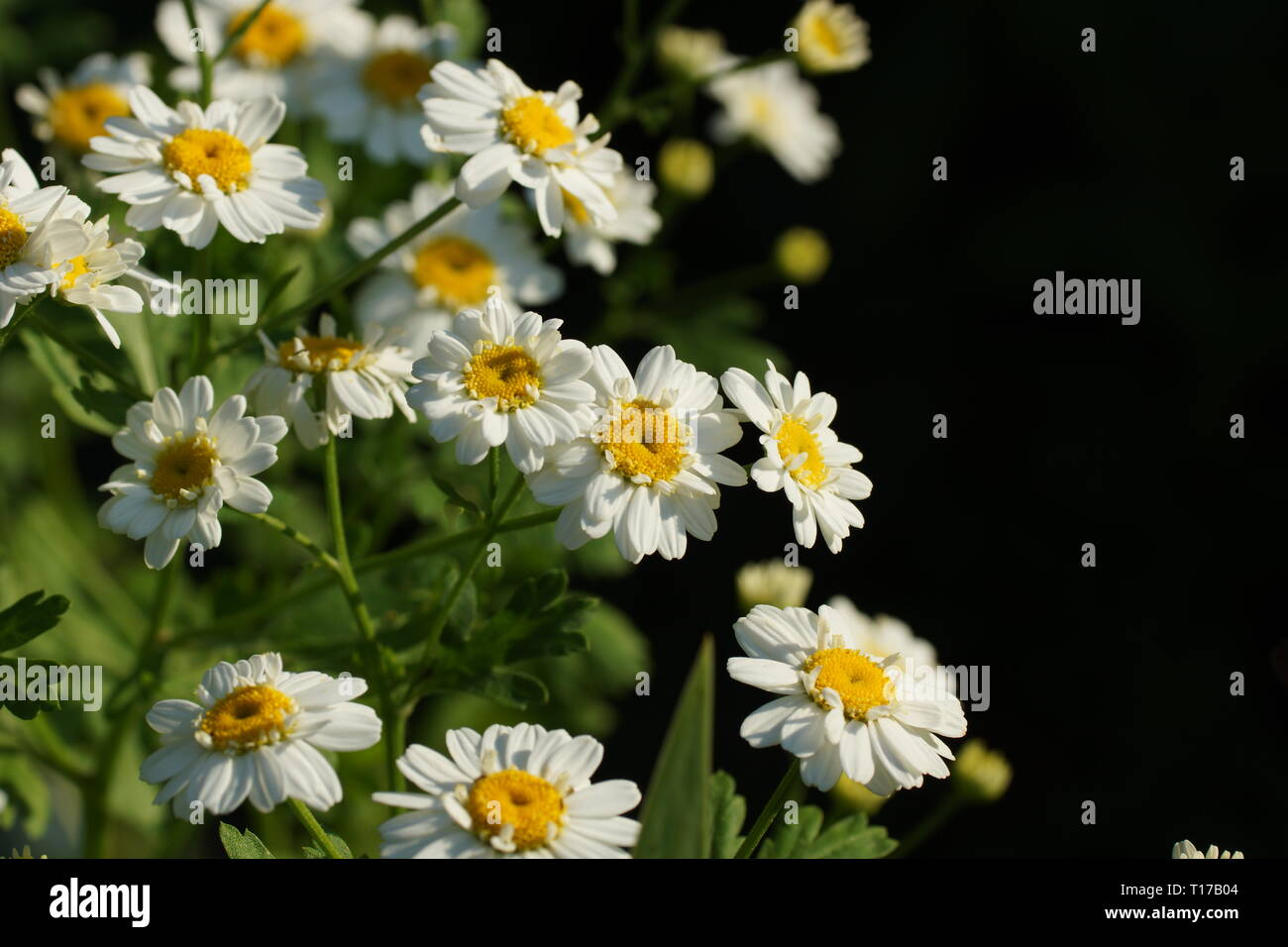 Pyrethrum (Chrysanthemum or Tanacetum) which are cultivated as ornamentals for their showy flower heads. - Stock Image