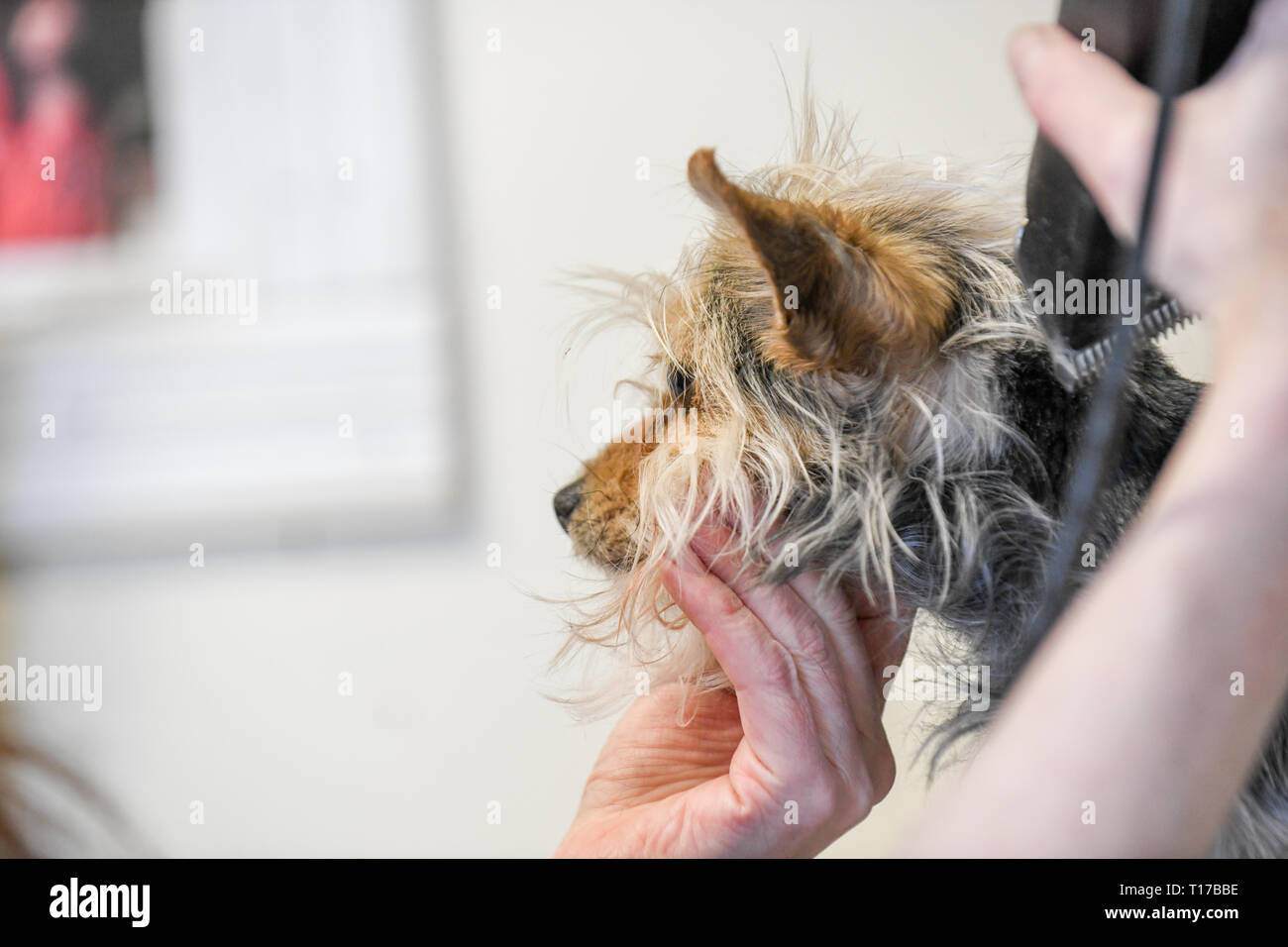 Dog grooming close up of a calm Yorkshire terrier being groomed with scissors small dog getting trimmed - Stock Image