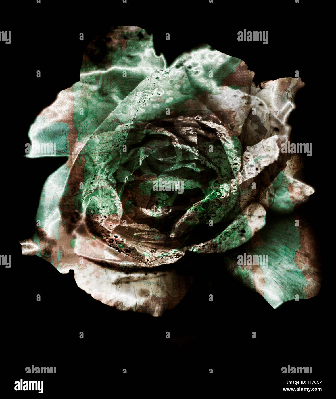 black and white rose - Stock Image