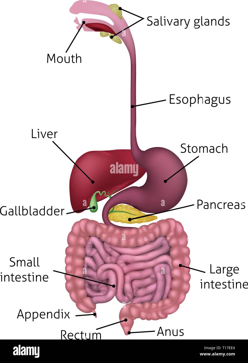 Human Gastrointestinal Digestive System And Labels Stock Vector Image  U0026 Art