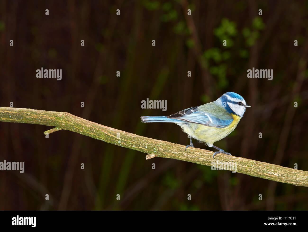 Blaumeise - Stock Image