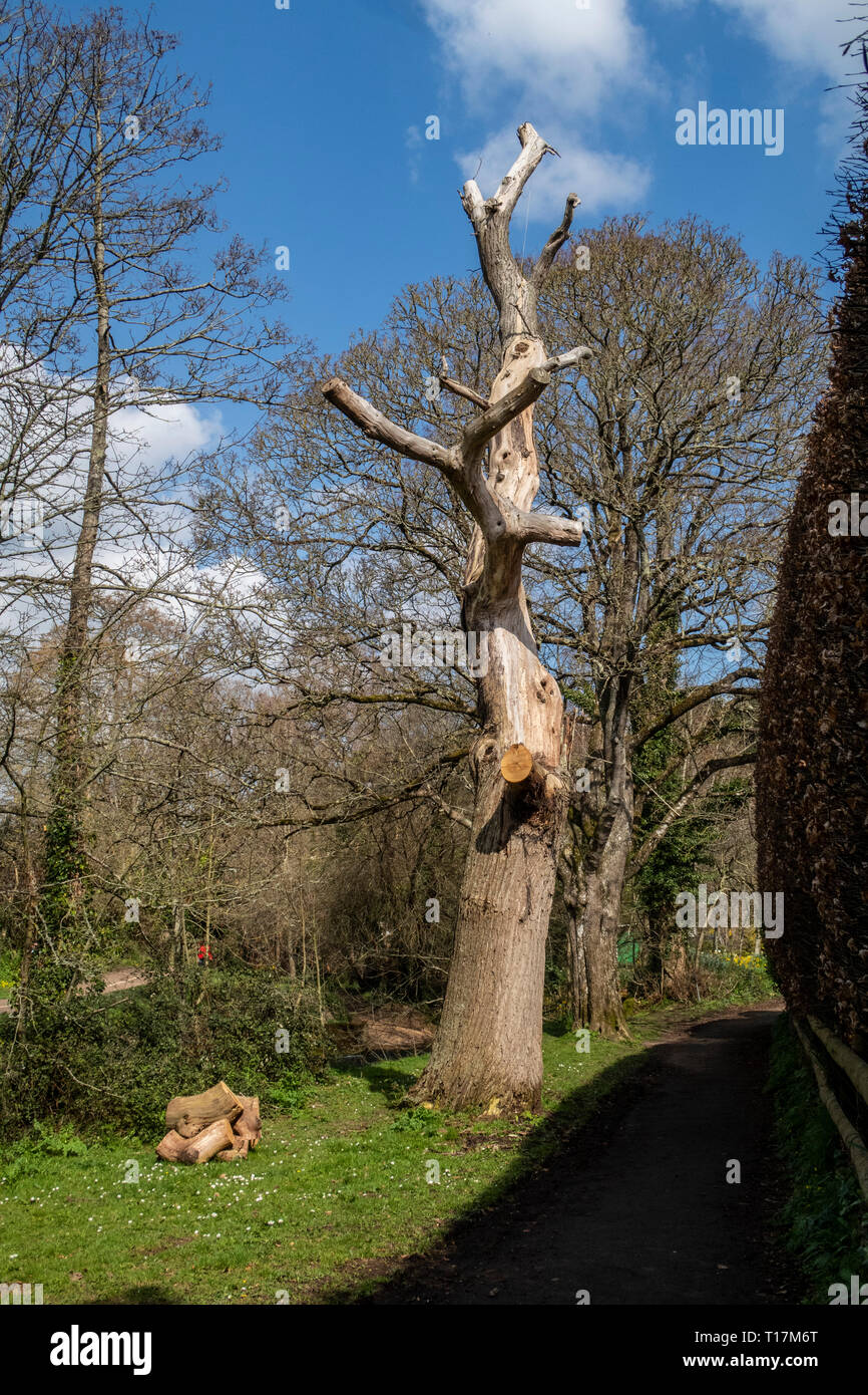 Dead or dying tree with all branches removed, ready for cutting down, Sidmouth, Devon. Stock Photo