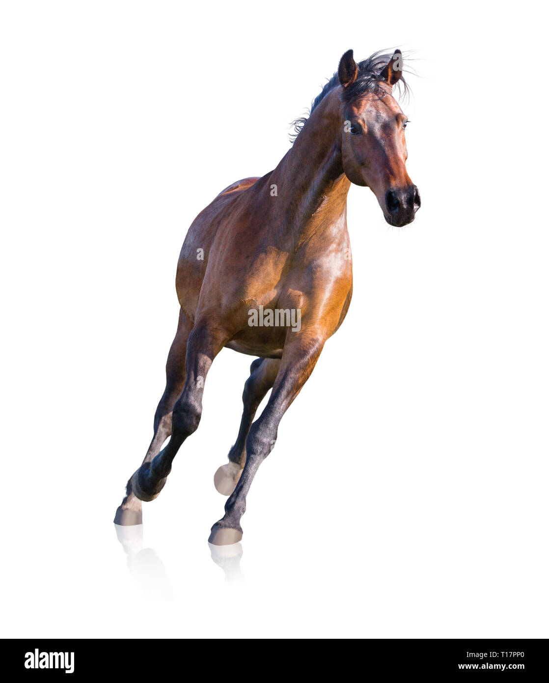 Brown horse runs isolated on white background - Stock Image