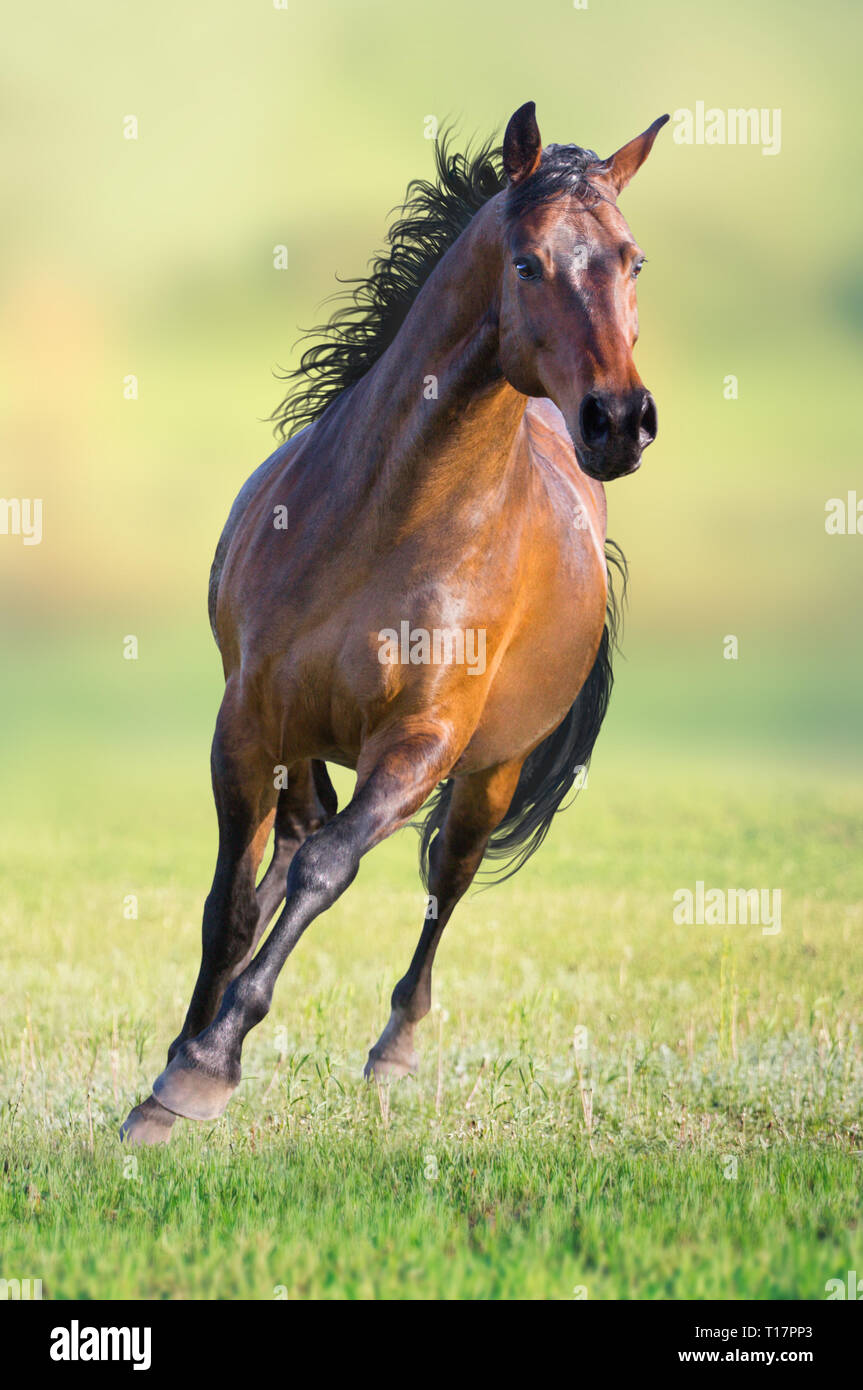 Bay horse runs on the green grass on green background Stock Photo