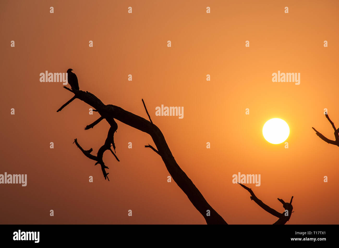 Silhouette of a bird on a branch at sunset in the Keoladeo National Park - Stock Image