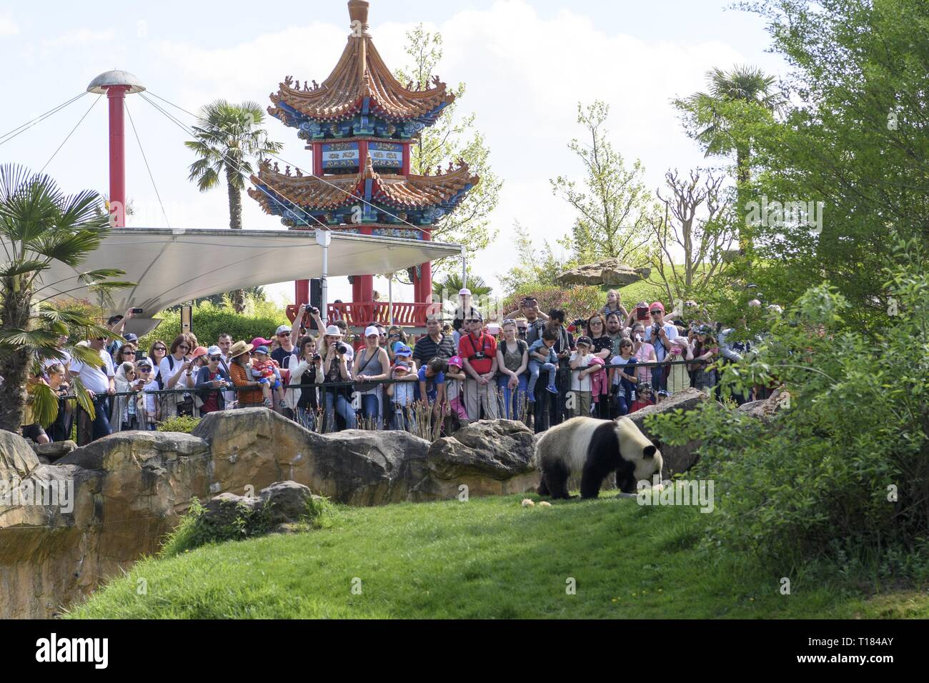 Beijing, France. 24th Apr, 2018. Visitors watch the male giant panda 'Yuan Zi' in Zooparc de Beauval, Saint-Aigan, France, on April 24, 2018. Credit: Chen Yichen/Xinhua/Alamy Live News - Stock Image