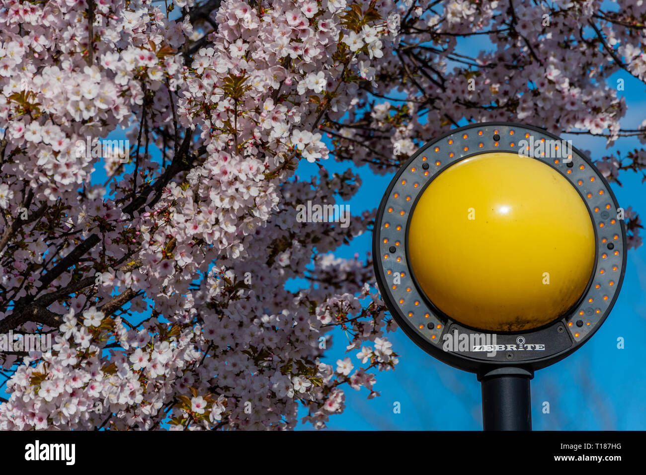 London, UK. 24th Mar 2019. Spring blossom and a blue sky at a Zebra crossing in SW London. Credit: Guy Bell/Alamy Live News Stock Photo