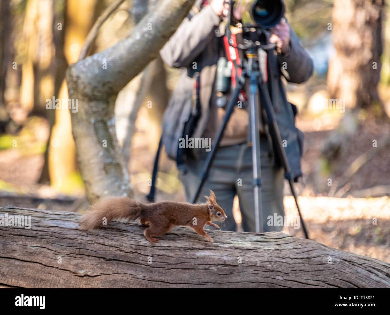 Poole, Dorset. 24th March 2019. Keen photographers try to capture pictures of young red squirrels on Brownsea Island in Poole. One of the few places native Red Squirrels can be found in the wild. Credit: Thomas Faull/Alamy Live News Stock Photo