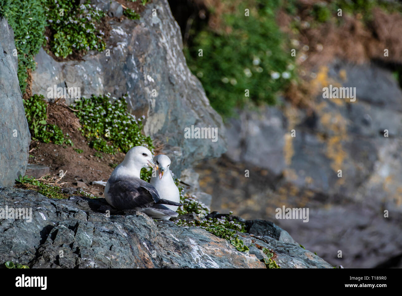 Bray Head, Ireland. 24th March, 2019 Pair of Kittiwakes enjoying warm and wind free weather on the south side cliffs of Bray Head. Credit: Vitaliy Tuzov/Alamy Live News - Stock Image