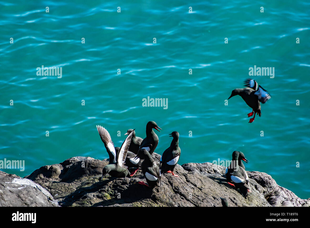 Bray Head, Ireland. 24th March, 2019 Colony of guillemots enjoying warm and wind free weather on the south side cliffs of Bray Head. Credit: Vitaliy Tuzov/Alamy Live News Stock Photo