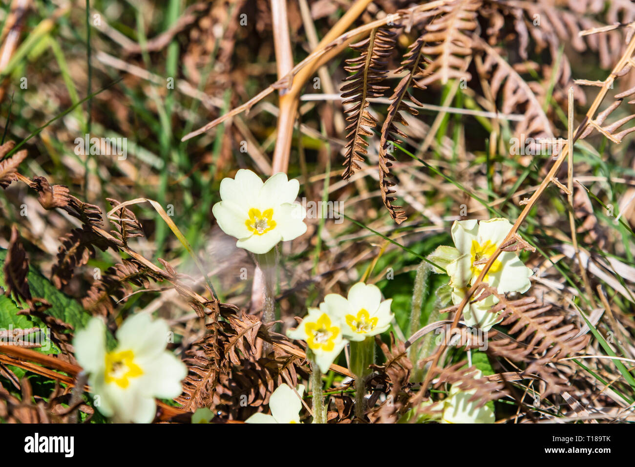 Bray Head, Ireland. 24th March, 2019 Spring is came. Wild flowers showing their beauty under the Sun. Credit: Vitaliy Tuzov/Alamy Live News. - Stock Image