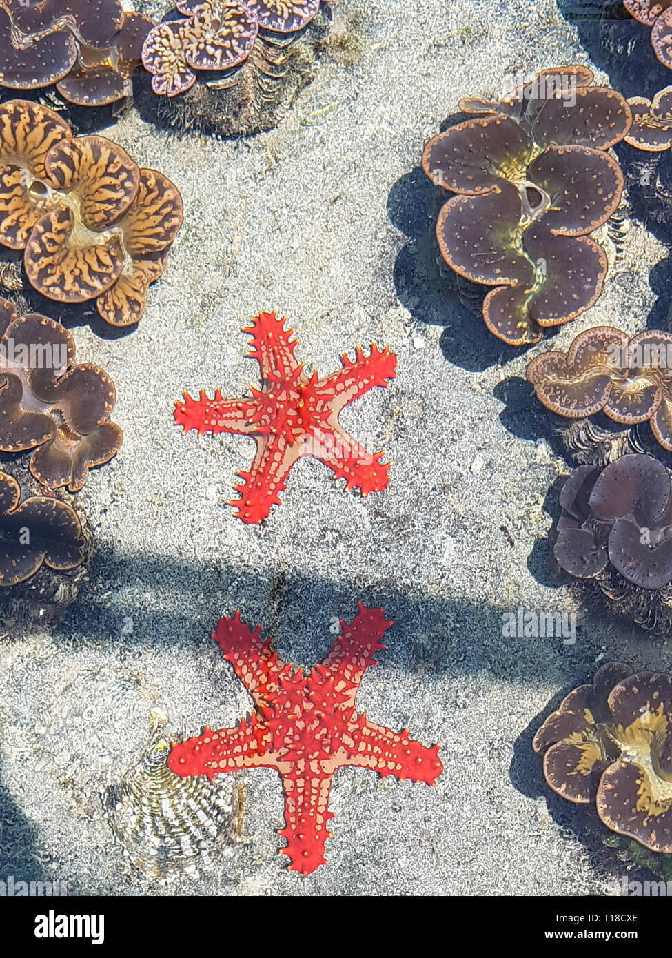 Two starfish next to giant clams on the Seychelles - Stock Image