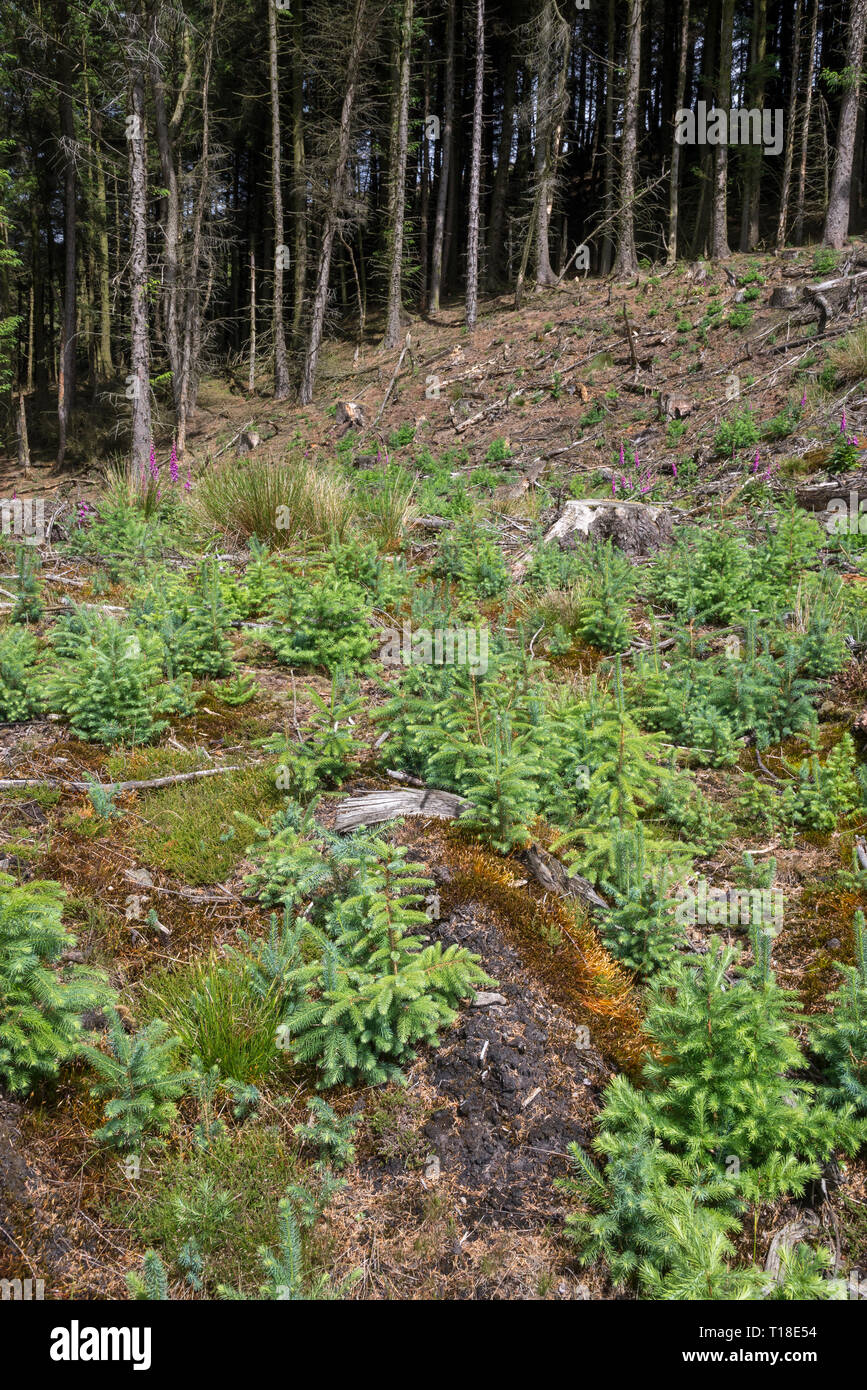 Self seeded saplings of spruce trees in cleared forest beside the Snake Pass, Derbyshire, England. - Stock Image