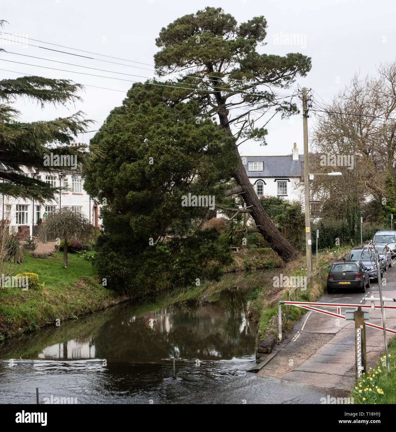 A Monterey Pine tree almost collapsed across the river Sid, at Sidmouth, Devon, UK Stock Photo