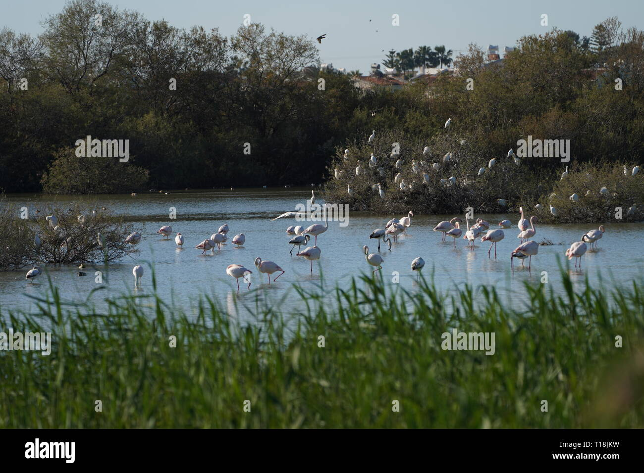 Pink flamingo use Cyprus as one of the important migratory passages. Among them are 12,000 flamingos (Phoenicopterus ruber) feeding on brine shrimp. Stock Photo