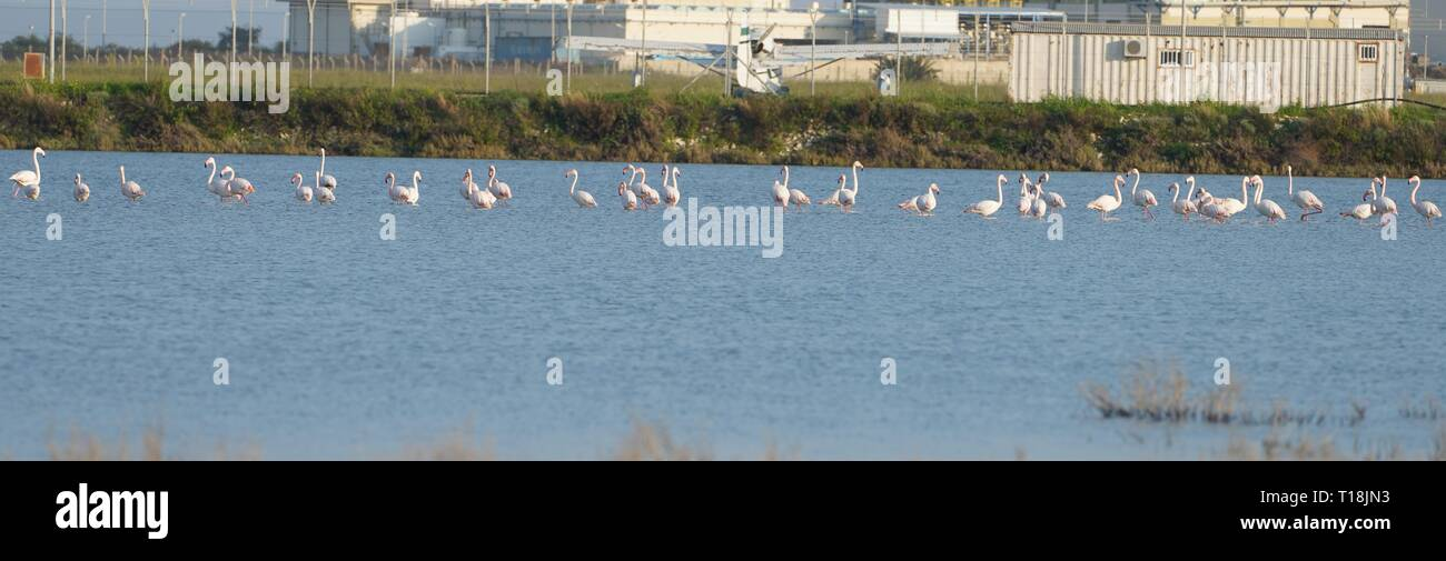 Pink flamingo use Cyprus as one of the important migratory passages. Among them are 12,000 flamingos (Phoenicopterus ruber) feeding on brine shrimp. - Stock Image
