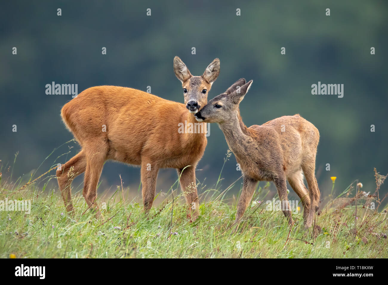 Intimate moment between mother roe deer doe and fawn - Stock Image