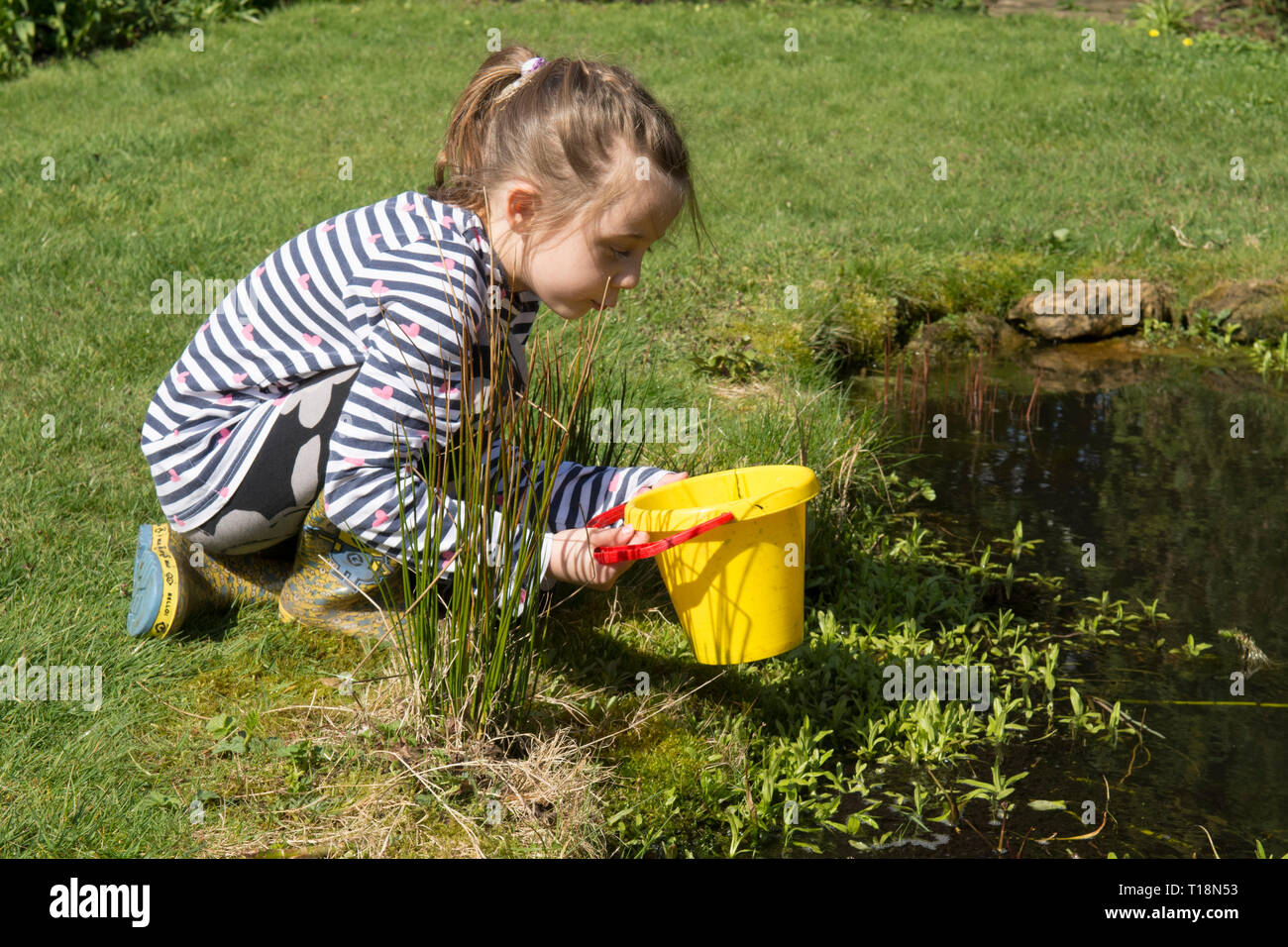 young girl pond dipping in garden wildlife pond removing tadpoles in children's bucket, seven years old. UK. March. Stock Photo