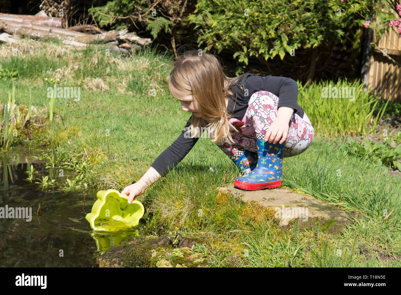 young girl pond dipping in garden wildlife pond removing tadpoles in children's bucket, three years old. UK. March. Stock Photo