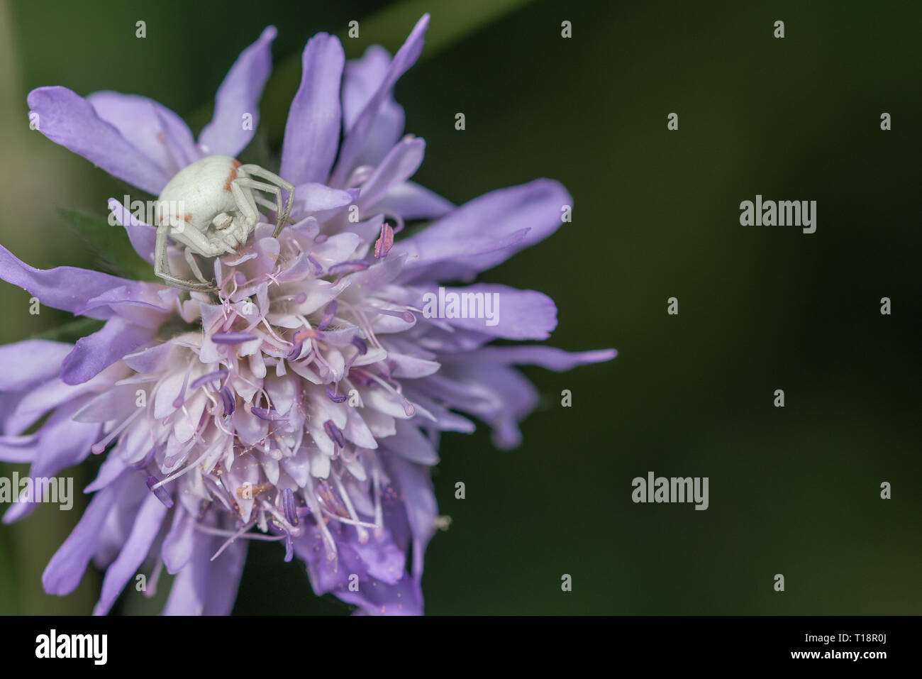 Comb-footed spider on Scabious flower. - Stock Image