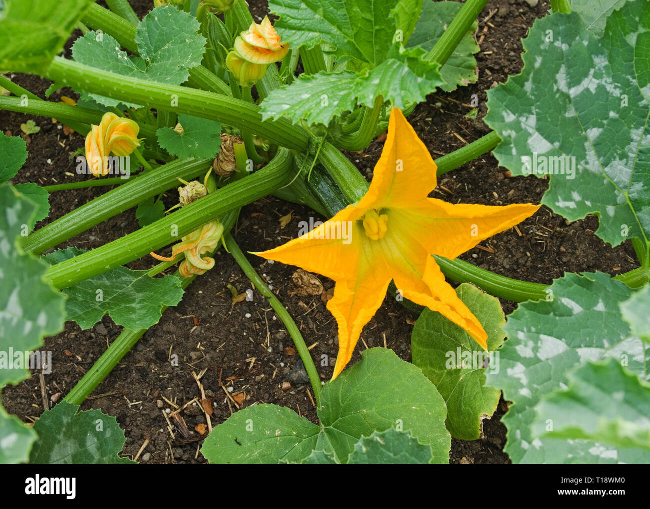 Close-up of yellow courgette flowers on courgette plants variety F1 Defender growing in vegetable patch in English garden, summer UK Stock Photo