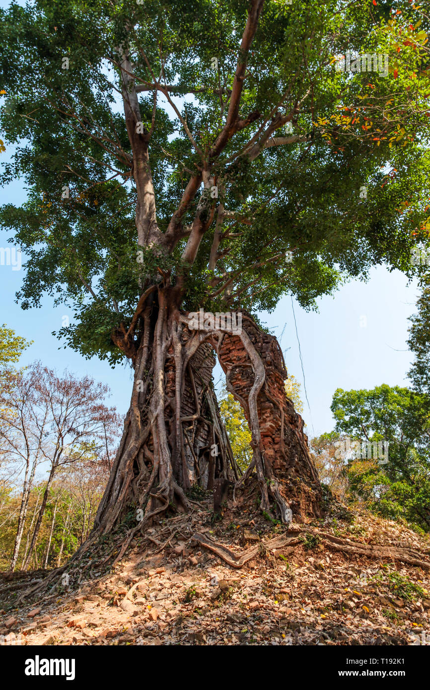 Roots of an old tree hold up an entrance to a temple that has fallen down in Cambodia - Stock Image