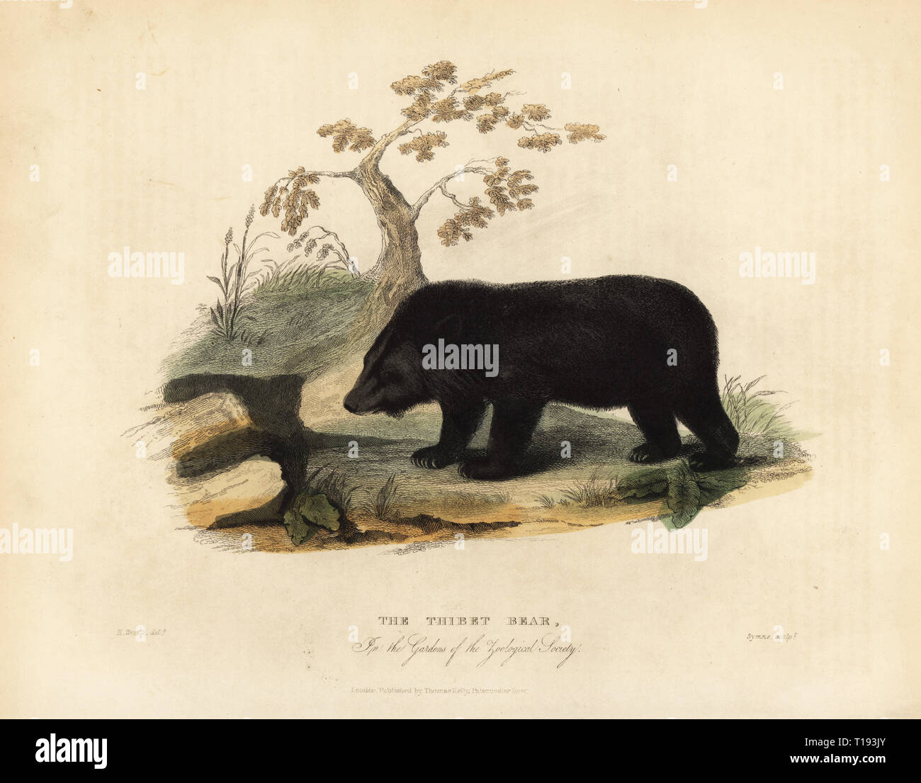 The Thibet bear or Himalayan black bear, Ursus thibetanus laniger, in the Gardens of the Zoological Society. Handcoloured copperplate engraved by W. Symns after an illustration by Horace S. Smith from William Smellie's translation of Count Georges Buffon's History of the Earth and Animated Nature, Thomas Kelly, London, 1829. - Stock Image