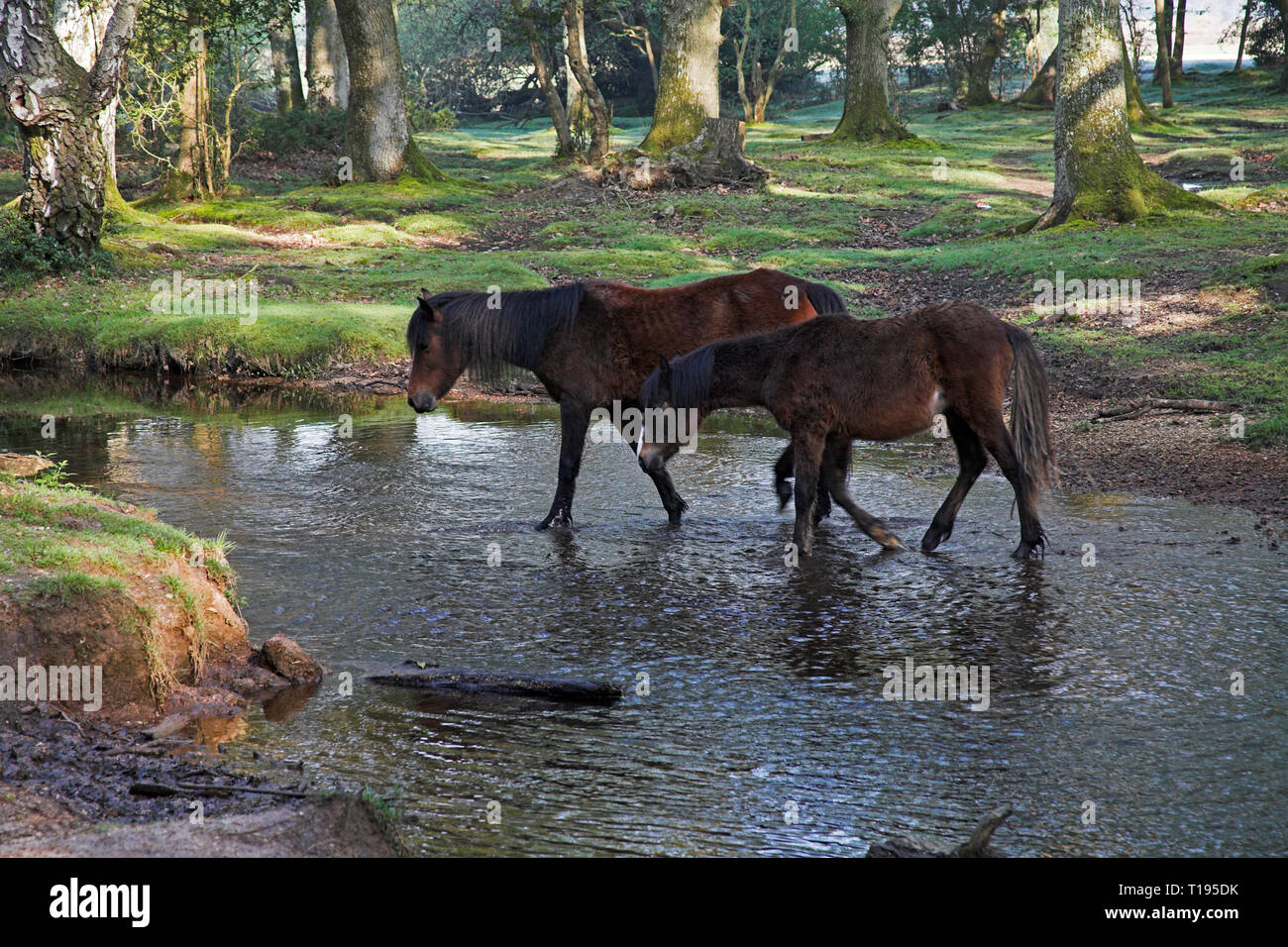 New Forest pony by the Ober Water stream at Ober Corner near Brockenhurst New Forest National Park Hampshire England Stock Photo