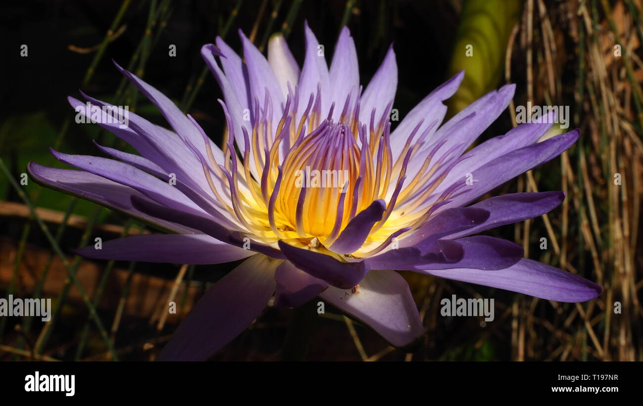 512374480 Stunning purple flowers that grow in water, the amazing purple lotus with  the yellow centre is just beautiful.