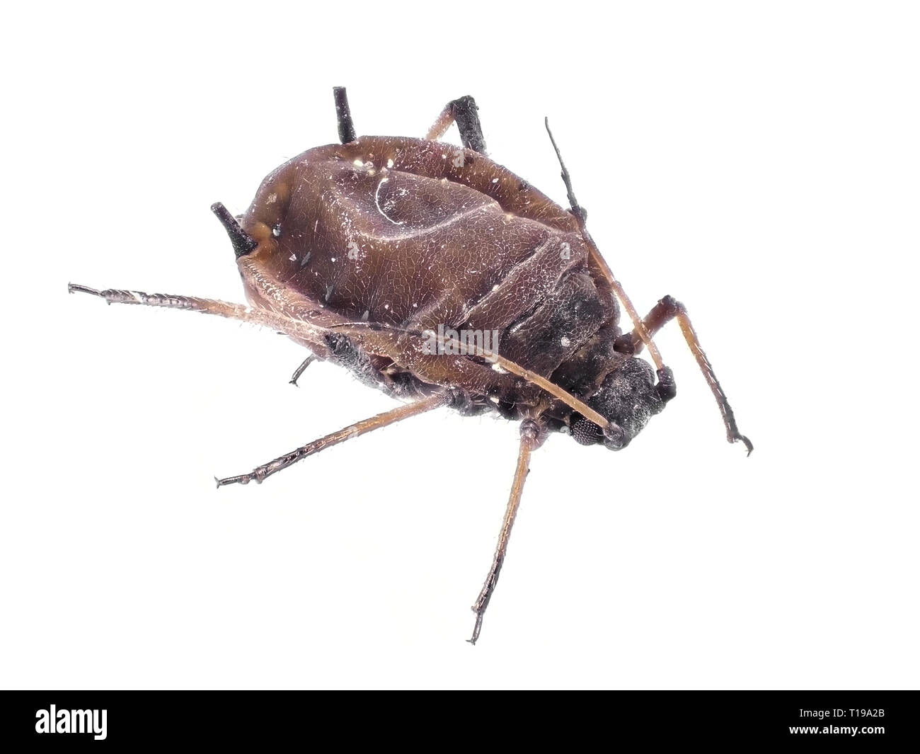 Small aphid, body length about 1.6mm - Stock Image