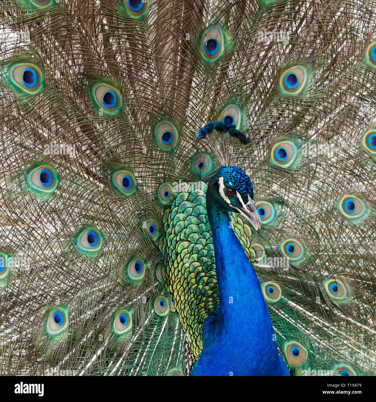 Fanning Peacock - Stock Image