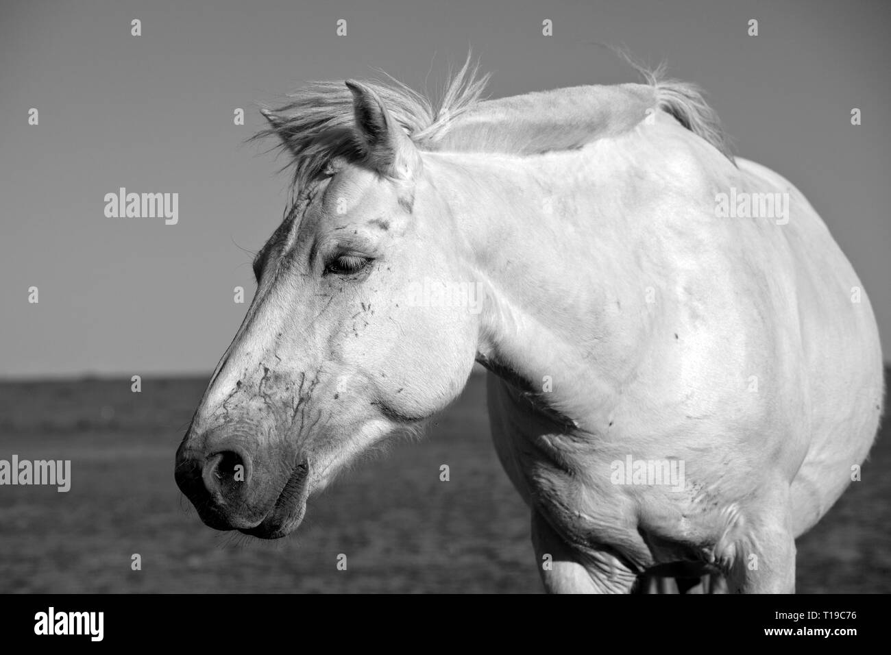 A white horse  at the Gegentala grasslands north of Hohhot in Inner Mongolia, China. - Stock Image