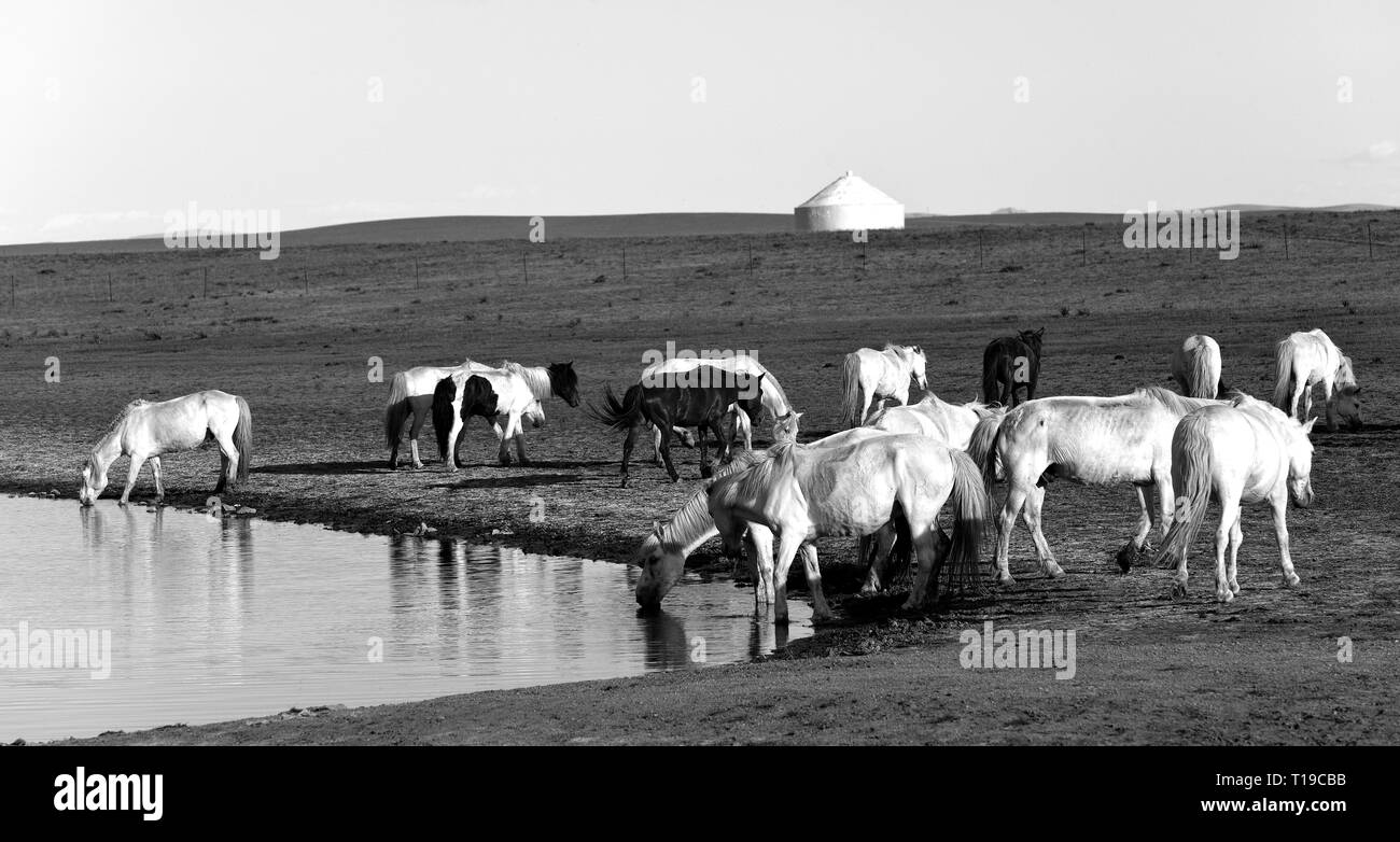 Group of horses drinking in a small lake at the Gegentala grasslands north of Hohhot in Inner Mongolia, China. - Stock Image