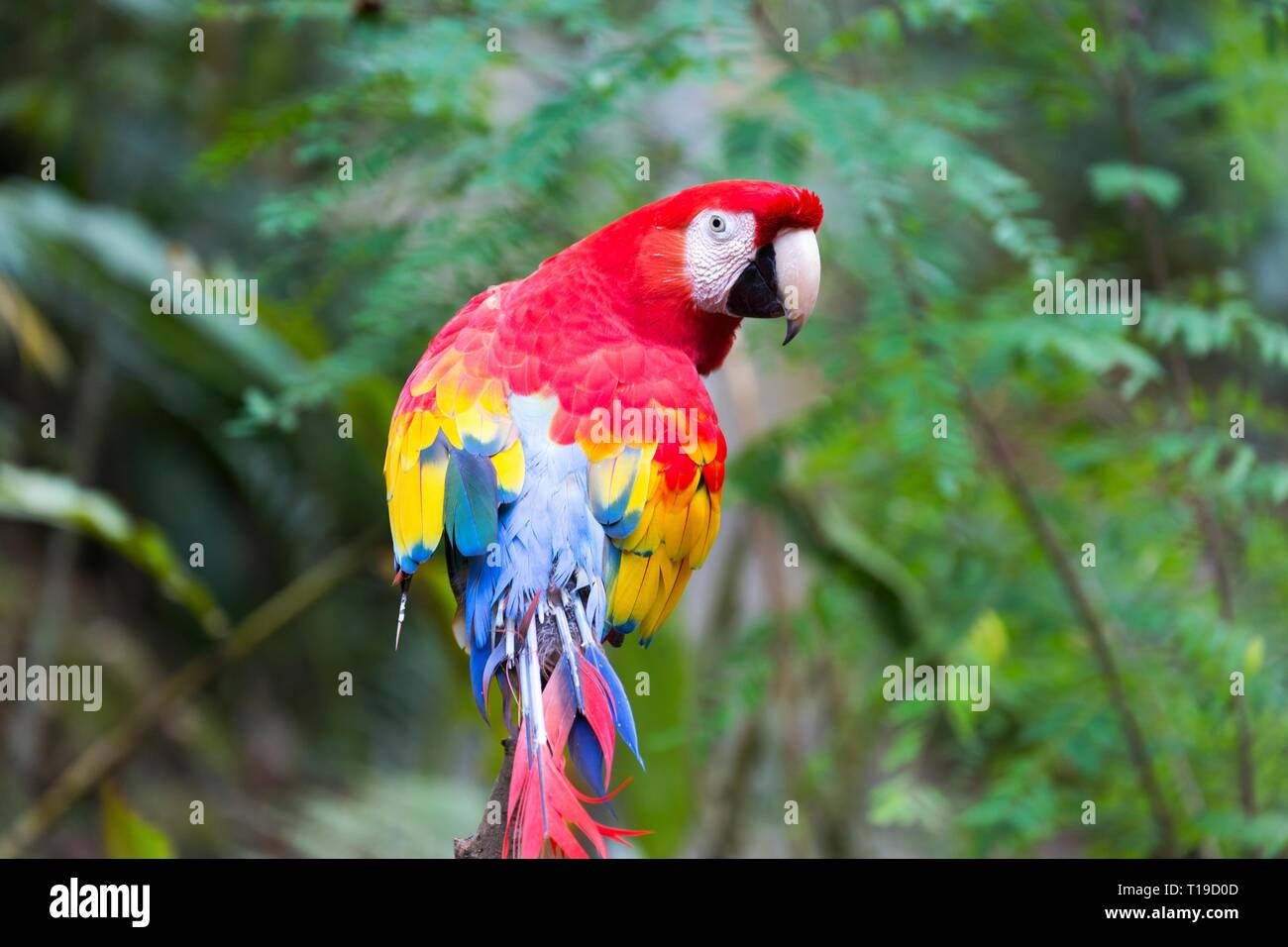 Exotic Red and Yellow Scarlet Parrot / Macaw Bird with Curious Look in the Eyes in Macaw Mountain Wildlife Reserve near Copan Ruinas in Honduras - Stock Image