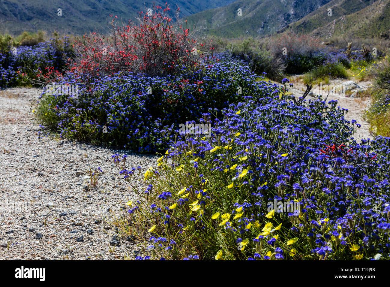 BLUE PHACELIA (Phacelia distans) & CHUPAROSA (Justicia californica) during a superbloom - ANZA BORREGO DESERT STATE PARK, CALIFORNIA - Stock Image