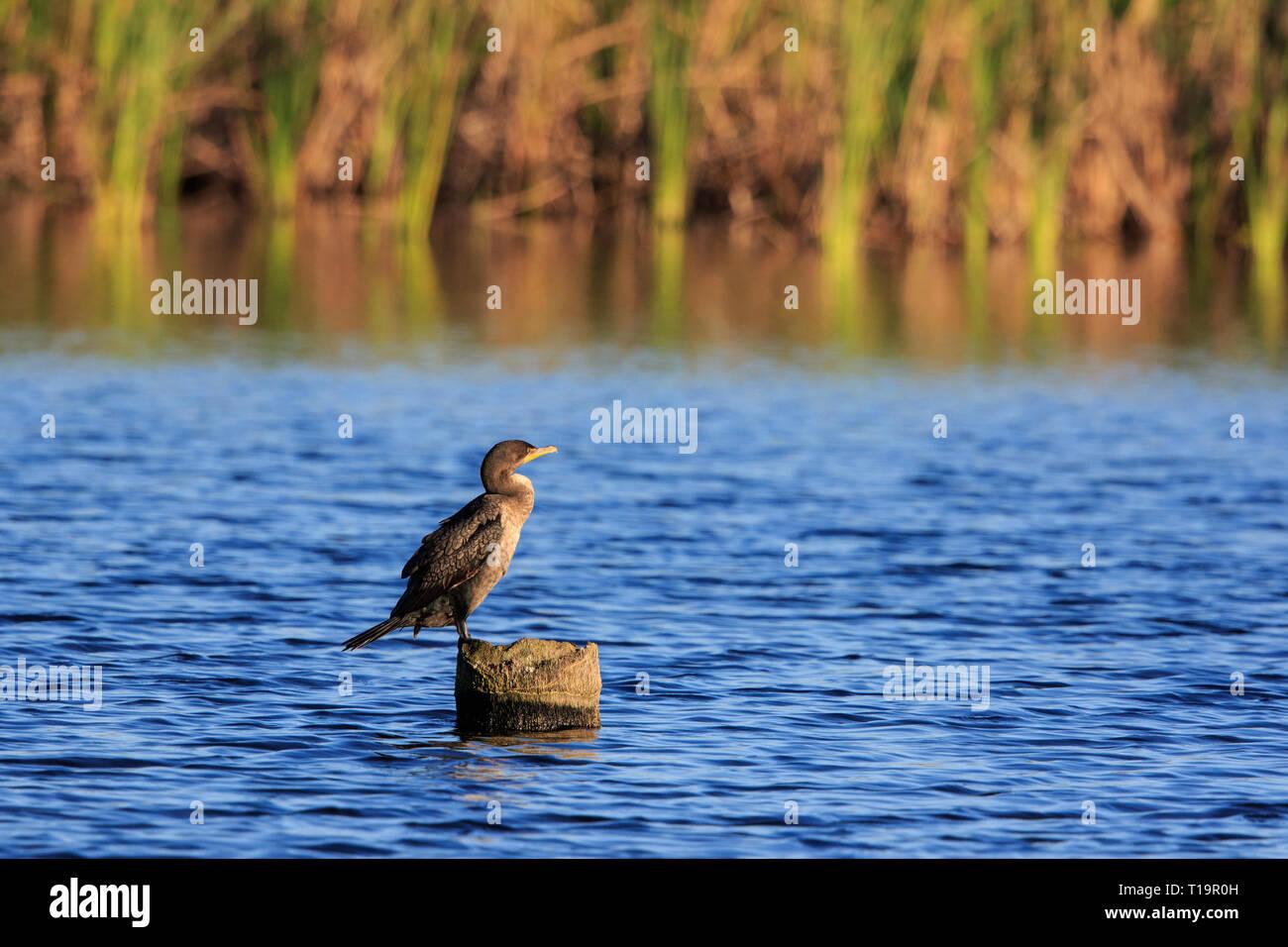 Anhinga  (Anhinga anhinga) sunning itself. - Stock Image