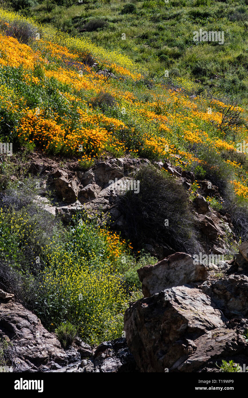 CALIFORNIA POPPIES (Eschscholzia californica) cover the hillsides during a super bloom near LAKE ELSINORE, CALIFORNIA - Stock Image