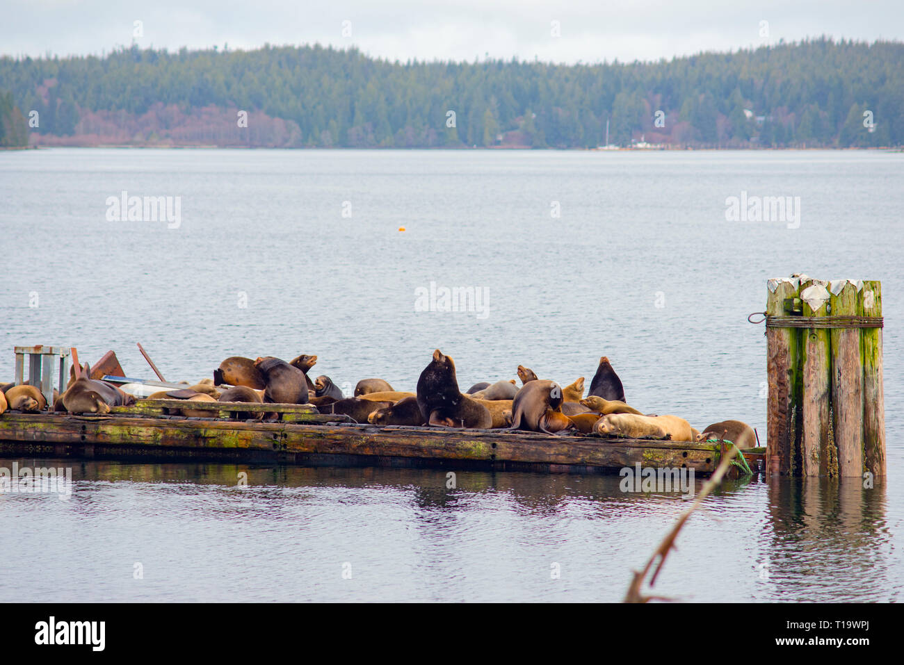 View of wild stellar sea lions basking in the sun by the ocean in Ucluelet, Vancouver Island, Canada - Stock Image